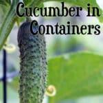 cucumber growing on vine