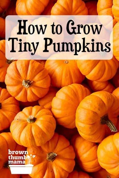 tiny pumpkins!