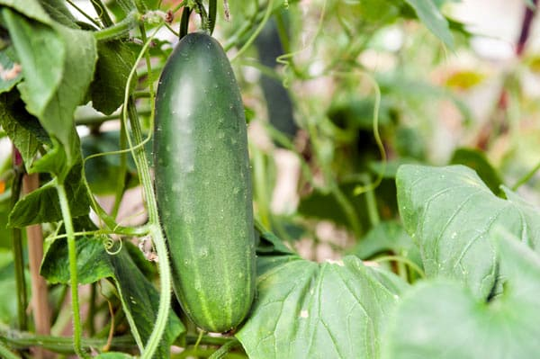 cucumber growing in garden