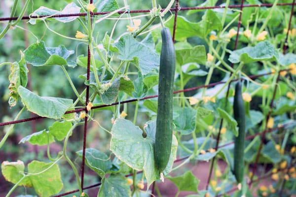 cucumbers growing on trellis