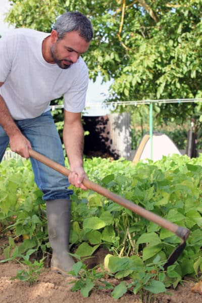 man hoeing green beans