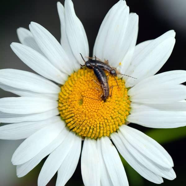 earwigs on daisy