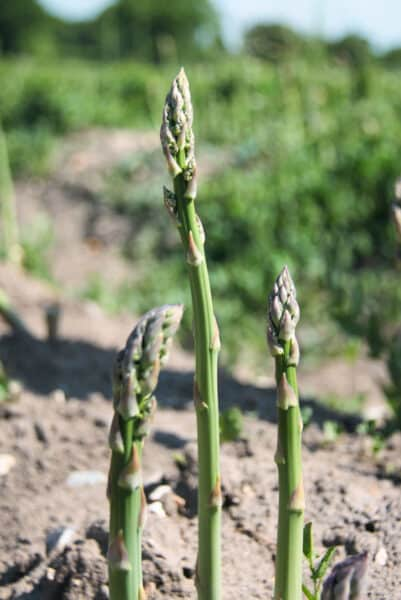 asparagus growing in garden
