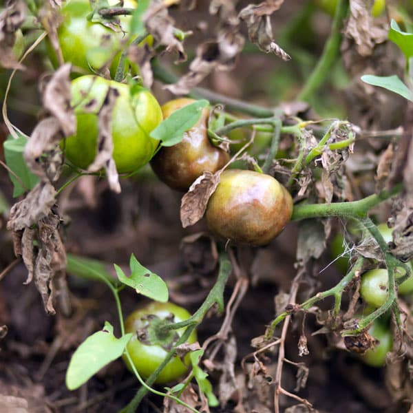tomato plant with late blight