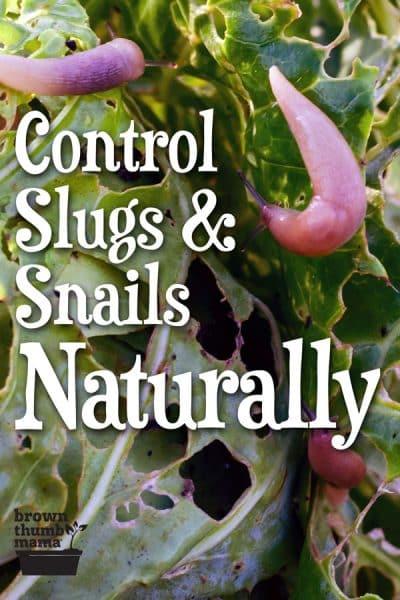 slugs eating vegetable plant