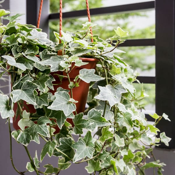 english ivy in hanging pot in front of window