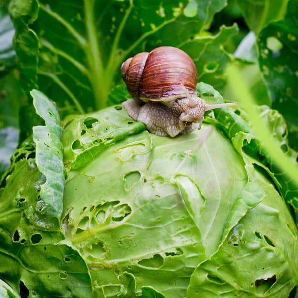 snail eating cabbage plant