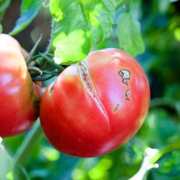 tomato that has split open in the garden