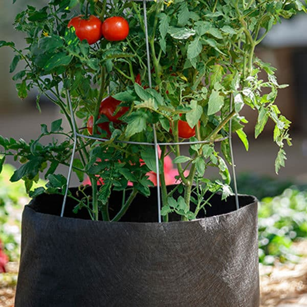 tomato growing in smart pot