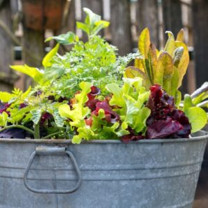 vegetables growing in metal washtub