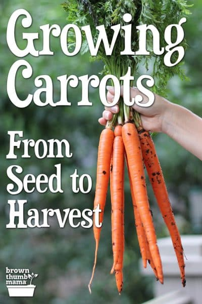 freshly harvested carrots in hand