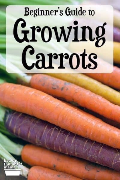 bunte Karotten auf dem Tisch