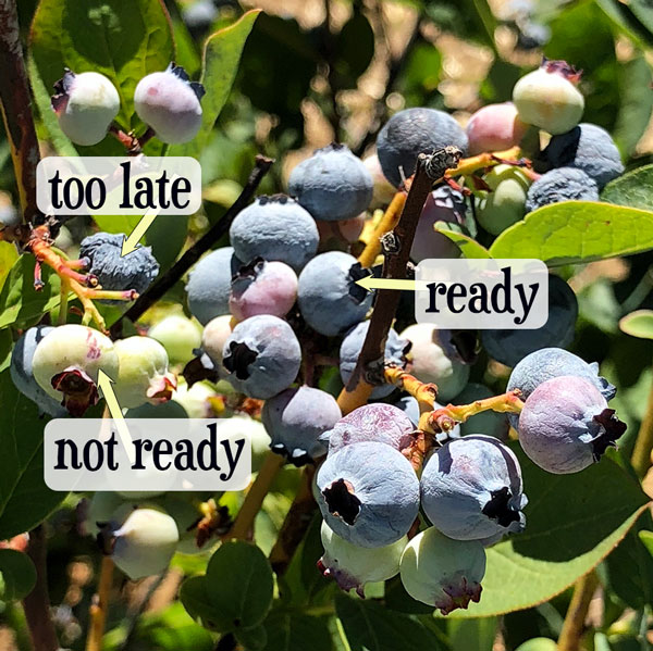 blueberries labeled ready to pick