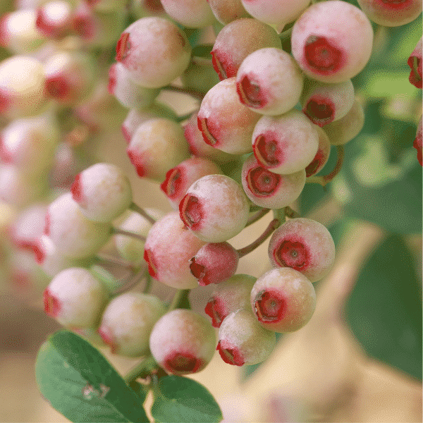pink rabbiteye blueberries