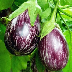 two variegated eggplant growing in garden