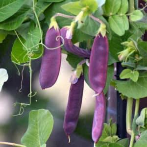 purple snow peas on vine