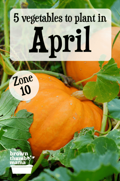 pumpkin growing in field
