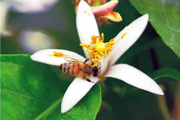 bee on citrus flower