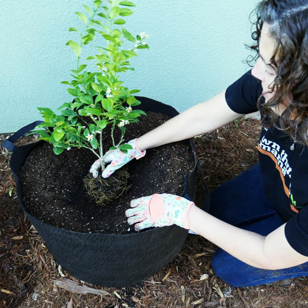 woman planting citrus tree in pot