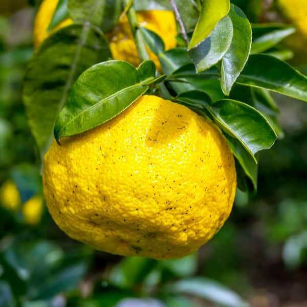 yuzu citrus planted in container