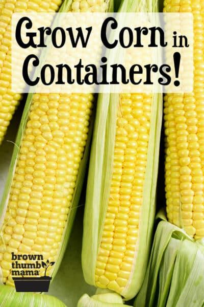 fresh corn from the garden