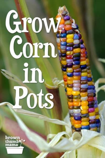 colorful corn in garden