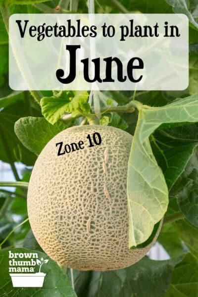 cantaloupe growing in garden