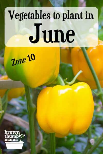 yellow bell peppers growing in garden
