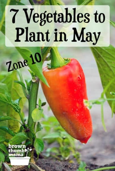 hot red pepper growing in garden
