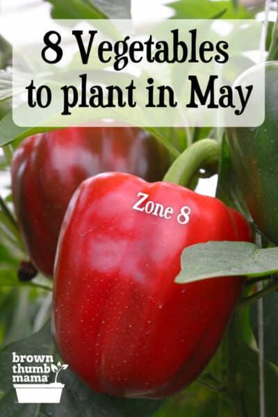 red pepper growing in garden