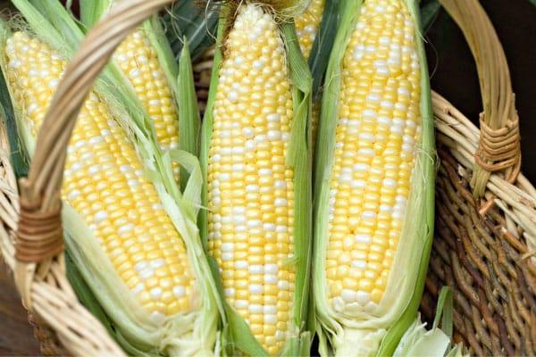 freshly picked corn in basket