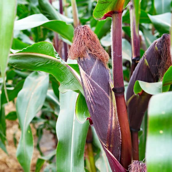 corn with purple husk in garden