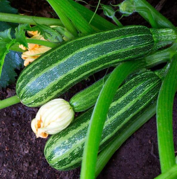zucchini growing in garden