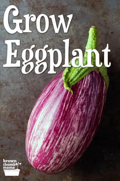 striped eggplant on table