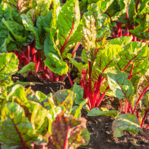 chard growing in the garden