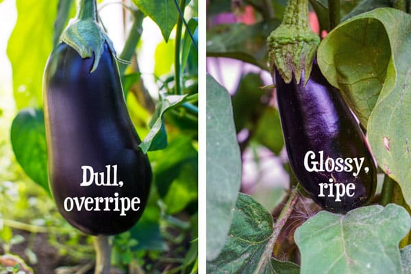 comparing ripe and overripe eggplant