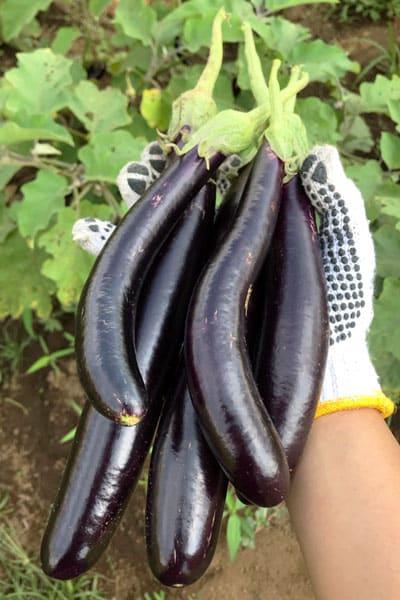 hand holding long purple eggplant