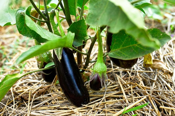 eggplant bush with mulch underneath