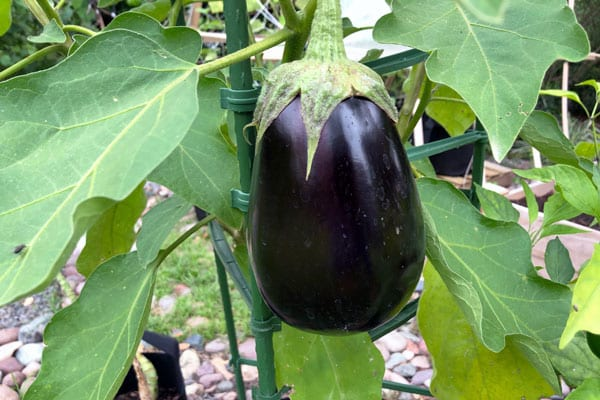 eggplant bush held up with stakes