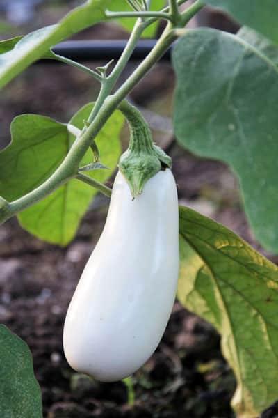 white eggplant in garden