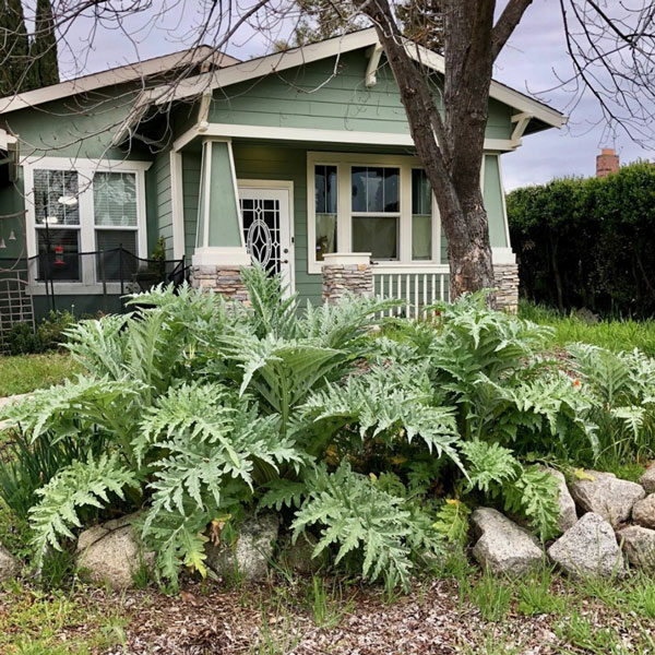 Artischocken vor dem Haus gepflanzt