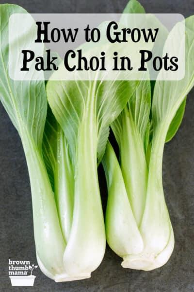Pak Choi auf dem Tisch